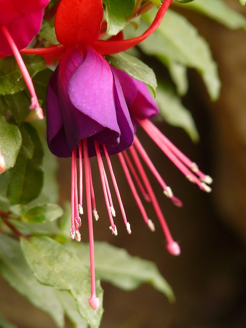 fuchsia, evening primrose greenhouse, ornamental plant