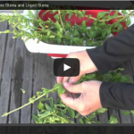 Video:  How to Make Your Own Pure Stevia and Liquid Stevia